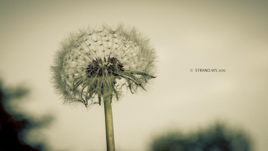IMAGE: http://www.strand.ws/wp-content/uploads/2012/05/maskros1.jpg